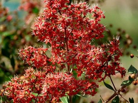 Lawsonia inermis_Hna_IMG_9382-001