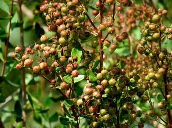 Lawsonia inermis_Hna_IMG_9383-001