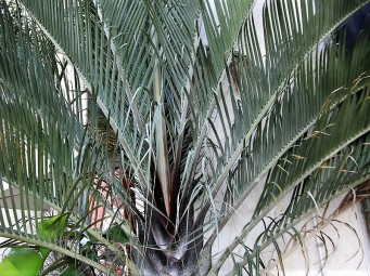 Palm_Dypsis decaryi_CIMG3906 (2)