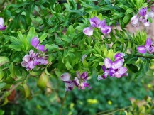 Polygala myrtifolia IMG_0349 (2)