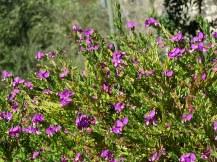 Polygala myrtifolia_Istod_IMG_7163-003