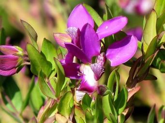 Polygala myrtifolia_Istod_IMG_7169 (2)