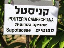 Pouteria campechiana_ IMG_8092-001