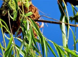Salix alba Iva_IMG_5376-004 (2)