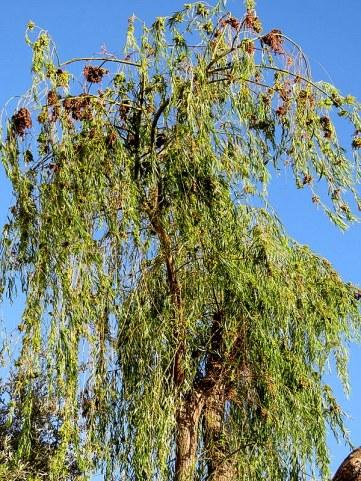 Salix alba Iva_IMG_5378-001