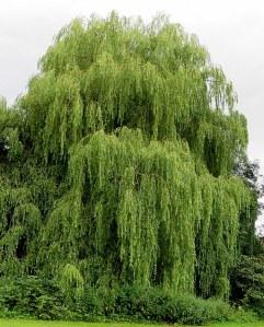 Salix babylonica_Iva_IMG_3780-002
