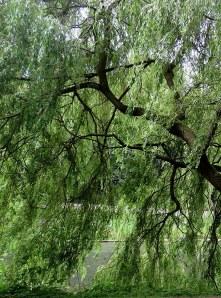 Salix babylonica_Iva_IMG_5946-001