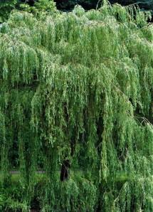 Salix babylonica_Iva_IMG_6038 (2)