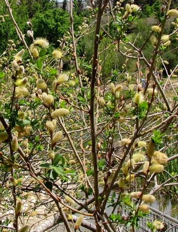 Salix caprea IMG_7932-001