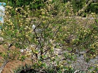 Salix caprea IMG_7933-001