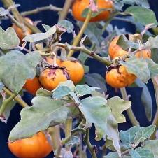 Solanum incanum L. Paslen_IMG_5900 (2)
