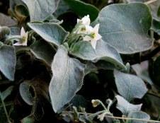 Solanum villosum IMG_9208-001