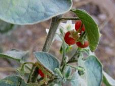 Solanum villosum IMG_9213-001