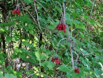 Viburnum opulus_Kalina_IMG_5895 (2)