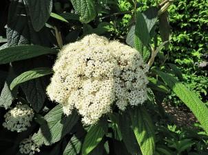 Viburnum rhytidiophyllum_Kalina_IMG_5950-001