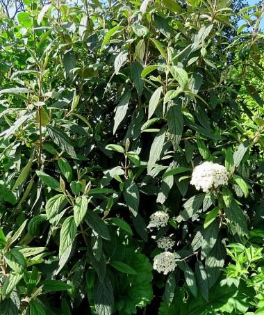 Viburnum rhytidiophyllum_Kalina_IMG_5953-001