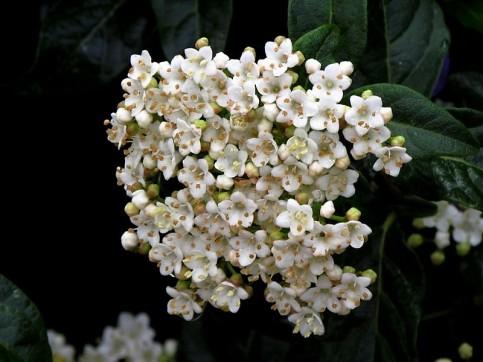 Viburnum tinus_IMG_5933_ (2)