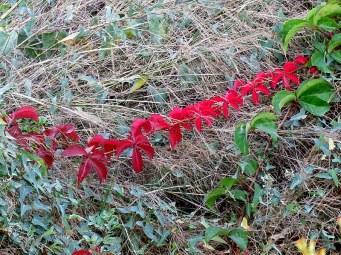 Vinogr_Devich-5_Parthenocissus quinquefolia IMG_4794-01