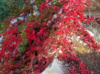 Vinogr_Devich-5_Parthenocissus quinquefolia IMG_4796-01 (2)