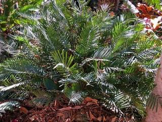 Zamia integrifolia IMG_1169 (2)
