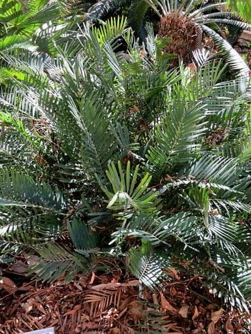 Zamia integrifolia IMG_1170-002