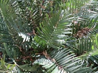 Zamia integrifolia IMG_1171-002
