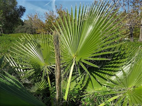 005_Washingtonia filifera_IMG_6920 (2)