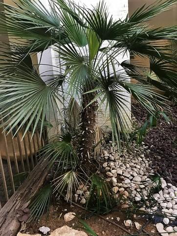015_Trachycarpus fortunei_IMG_2669 (2)