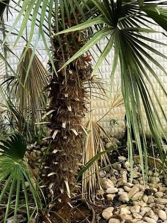 015_Trachycarpus fortunei_IMG_2670-001