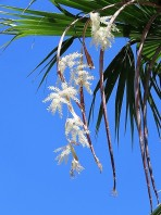 018_Washingtonia robusta IMG_1079 (3)