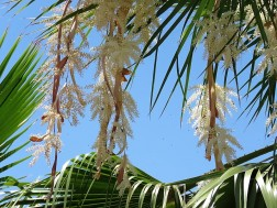 019_Washingtonia robusta IMG_1122 (2)