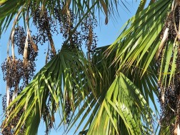 019_Washingtonia robusta IMG_2457 (2)