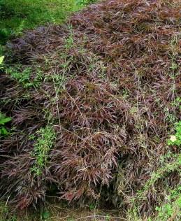 Acer Palmatum Dissectum Atropurpureum IMG_5094-001