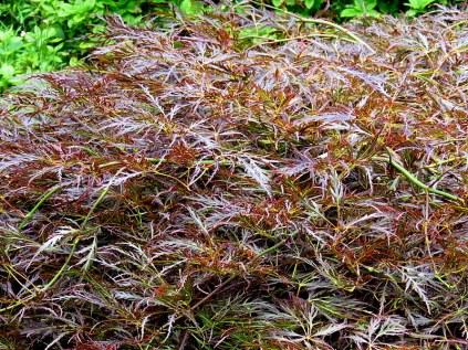 Acer Palmatum Dissectum Atropurpureum IMG_5095-001