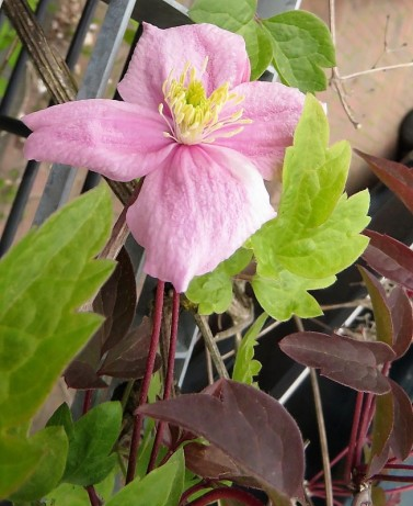 Clematis songarica IMG_5537 (2)