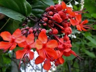 Clerodendrum splendens CIMG2393-001 (3)
