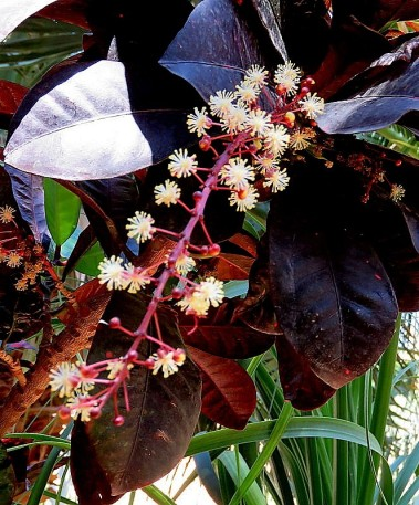 Codiaeum variegatum_IMG_1282-001 (2)