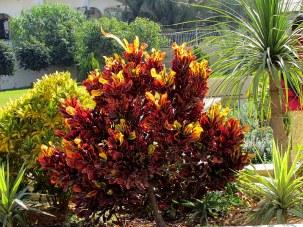 Codiaeum variegatum_IMG_2492-001