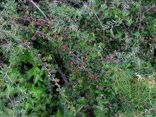 Cotoneaster atropurpureus_Kizilnik_IMG_7706-001-a