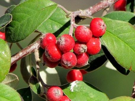 Cotoneaster franchetii_Kizilnik_IMG_1057-001