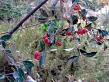 Cotoneaster pannosus_Kizilnik_yag_IMG_0127-001
