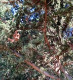 Cupressus sempervirens IMG_5243-003