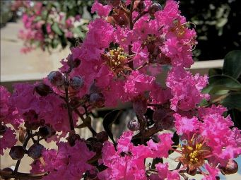 Lagerstroemia_mal_P7250493_c_-1_5a