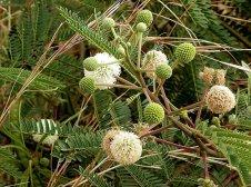 Leucaena leucocephala_P5190173-1a1