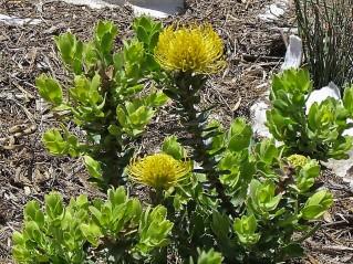 Leucospermum patersonii IMG_7974 (3)