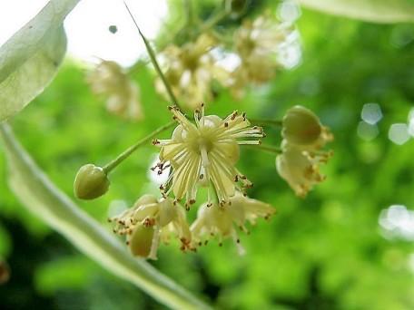 Lipa_Tilia cordata_latifolia_P6100820_1 (3)