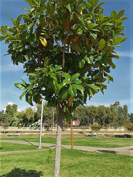 Magnolia grandiflora_IMG_6960-001 (2)