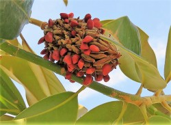 Magnolia grandiflora_IMG_6966 (3)