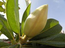 Magnolia grandiflora_P8130099_a