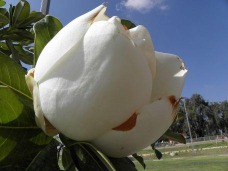 Magnolia grandiflora_P8130100_a